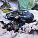 Salamandra in posa