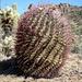 [http://en.wikipedia.org/wiki/Fishhook_Barrel_Cactus Fishhook Barrell Cactus (Ferocactus wislizeni)]. Die gekruemmten Nadeln sehen eigentlich weich aus, haben aber die Konsistenz von Eisendraht !! Hoehe ca. 1m.
