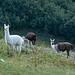 Lamas am Traunalpsee