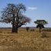 Der Affenbrotbaum ist immer ein Blickfang