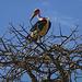 Ein Marabu. Er gehört zu den Störchen und mit einer Spannweite bis zu drei Metern zu den größten flugfähigen Vögeln überhaupt