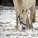 Mühsam sucht er das Gras unter der dünnen Schneedecke