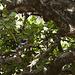 Wahrscheinlich ein Graukopfliest (Grey-headed Kingfisher) Familie der Eisvögel
