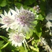 """Grosse Sterndolde<br />""""Astrantia major""""<br /><br />Blütezeit: Mai – August<br />Grösse: bis 80cm<br />Standort: Bergwiesen, lichte Wälder, Laubwälder, Nadelmischwälder, kalkreiche Böden<br />Vorkommen: Ganz Europa, im Süden häufiger<br /><br />Besonderes:<br />Giftpflanze<br />"""