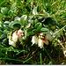 Merisor (Vaccinium vitis-idaea)