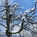 """etwas ungewöhnlicher Wuchs - doch heute, schneebedeckt, ausserordentlich """"ausdrucksstark"""""""
