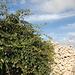 Unterwegs zum Salib tal-Għolja / Laferla Cross - Wie an vielen Stellen auf unserer heutigen Wanderung begleiten uns Trockenmauern und Efeu.