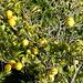 Wied tal-Girgenti / Girgenti Valley - In den Gärten am Wegrand reifen derzeit u. a. zahlreiche Zitronen (Zoom).