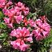 Alpenrosenblüte - auch auf die kleinen Freuden am Wegesrand sollte man mal schauen