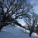 Die uralten, geschützten Ahornbäume von Valzeina