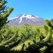 Erster Blick hinter Araukarien auf unser Nachmittagsziel: Vulkan Lonquimay