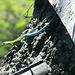 Bicolore Eidechse: hinten himmelblau, vorne baumgrün!