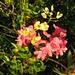 Jedes Jahr von neuem reizvoll: Alpenrosenblüte