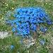 blaue Blumenpracht