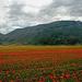 Cima del Redentore e Cima da Lago visti dal Piano Grande durante la meravigliosa fioritura...