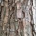 Corteccia di pino