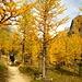 Was gibt's schöneres als Lärchen im Herbst...