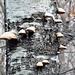 Funghi su betulla morta