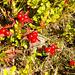 Beeren des Schwedischen Hartriegels. Nicht giftig, aber nicht schmackhaft