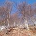 Il bosco di faggi... in queste condizioni... cari sci, restate dove siete!