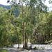 Eukalyptuswald im Barranco de los Cazadores