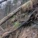 Meine gefühlte Schlüsselstelle an diesem Tag an der Burg Balderen-Rippe: der feuchte Untergrund gab mir zu wenig Halt. An der Kante geht es über den umgestürzten Baum aufwärts.