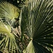 Die Wedel der Chinesischen Hanfpalme (Trachycarpus fortunei) erfreuen einem zu jeder Jahreszeit mit ihrem saftigen Grün.