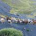 Lamas kurz vor Erreichen des Wendeplatzes südlich der Ajua Khota