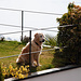 Wachhund (brav)