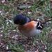 Bergfink oder Nordfink (Fringilla montifringilla)
