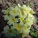 Schaftlose Primel (Primula acaulis)