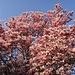 Magnolienbaum in Vollblüte... der Frühling kommt doch noch :)