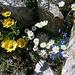 Gemswurz, Gänseblümchen und Bayrischer Enzian