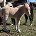 Ist neu - und eventuell mit Perwoll gewaschen. Fotografiert auf der Luziensteig bei den Pferdestallungen.