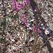 Fior di stecco, Daphne mezereum, Thymelaeaceae