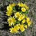eines der unzähligen Adonisröschen (Adonis vernalis) auf dem Hügel Vison ob Charrat