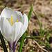 Auch hier spriessen die Frühlingsblumen
