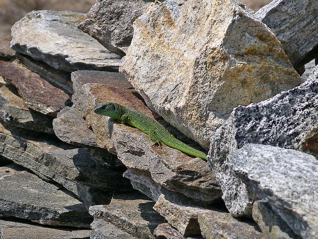 Smaragdeidechse 2