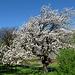 Kirschbaum im Talgrund  bei den Fröschen
