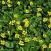 Scharbockskraut / Ranunculus ficaria (?) vor  Martigny