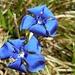 Blumenpracht IV: Tiefblaue Schusternagln. Auch Frühlingsenzian, wie ich gelernt habe...