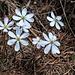Weisse Leberblümchen (Hepatica nobilis)