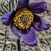 ... zu den Anemonen (Pulsatilla montana)