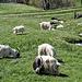 Auch die Geissen geniessen das schöne Wetter, das frische Gras und das Wasser der Mittla