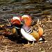 Zwei Mandarinerpel am Annateich. Zu wissenschaftlichen Untersuchungen hat man einige dieser in Hannover in freier Wildbahn lebenden Vögel beringt.