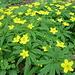 Anemone ranunculoides (Gelbes Buschwindröschen)