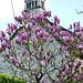 ...wo die Magnolien blühen