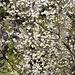 Wilder Kirschbaum im Valle di Lareccio