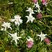 Sommerflora im Hagengebirge