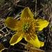 In ein paar Wochen sind hier ganz viele Orchideen zu finden. Momentan blüht noch wenig, hier die Sumpfdotterblume.<br /><br />Tra poche settimane qui si troveranno moltissime orchidee. Nel momento fiorisce ancora poco. Qua la Caltha palustris.